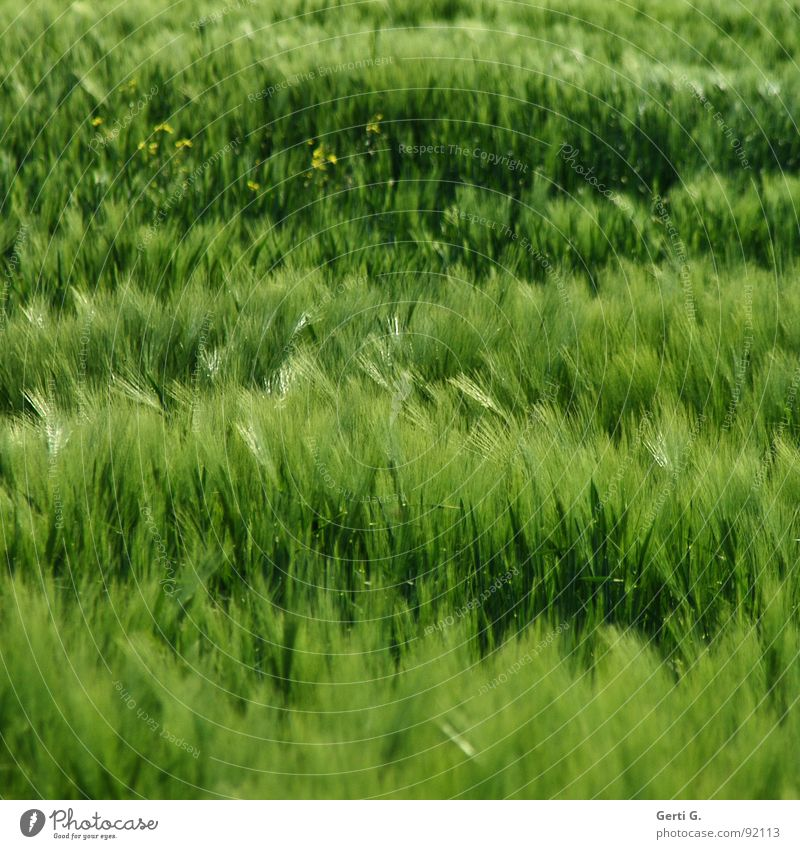 Green Summer Plant Grass Field Wind Wild animal Fresh Agriculture Grain Harvest Agriculture Blade of grass Muddled Cornfield Blow