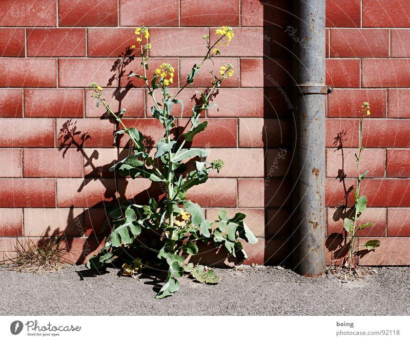 Ornamental rape, the yellow plague conquers Northern European front gardens Gardening Brick Song Decline Nature Rain gutter Tile Traffic infrastructure cityrap