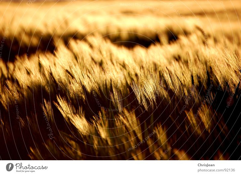 barley field Field Yellow Barley Evening Evening sun Lighting Moody Agra Agriculture Blade of grass sun atmosphere Grain Dusk Nature Wind Blow nikonic d40