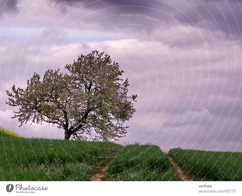 Again no concrete II Field Sowing Occur Agriculture Tracks Tractor track Tree Fruit trees Blossom Clouds Dark Spring Grain Rapeseed at the edge of the picture