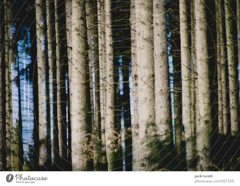 a wood for the trees Harmonious Autumn Coniferous trees Tree trunk Forest Long natural Many Warmth Force Agreed Idyll Inspiration Climate Nature Double exposure