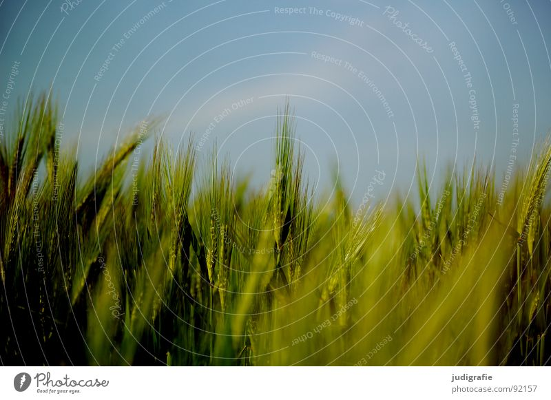 Sky Blue Green Summer Field Food Growth Agriculture Grain Harvest Vegetarian diet Ear of corn Barley Flourish