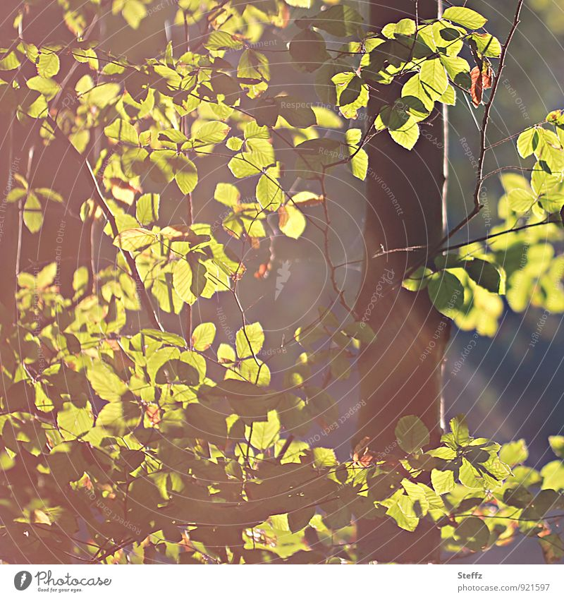 October light Nature Plant Autumn Beautiful weather Tree Leaf Beech tree Beech wood Beech leaf Forest Automn wood Yellow Green Sense of Autumn Mood lighting