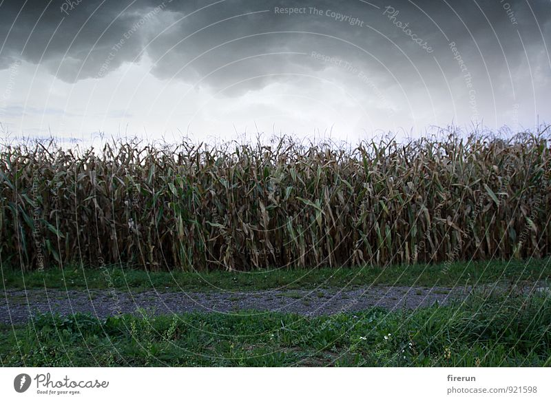 maize field Nature Landscape Plant Earth Sky Clouds Storm clouds Autumn Weather Bad weather Wind Thunder and lightning Leaf Agricultural crop Corn cultivation