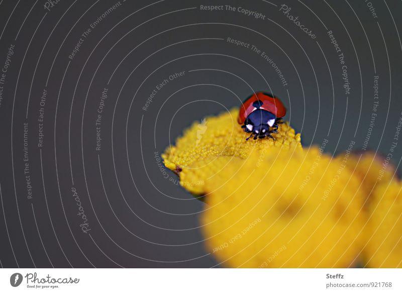 Nature Summer Flower Red Yellow Happy Crawl Beetle Ladybird Congratulations Good luck charm Summerflower Dark background