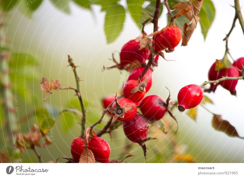 rose hips Dog rose Rose hip Rose plants Red Berries Leaf Mature Itch Scratch Seed Fruit Plant Verdant Branch Green Summer Autumn Autumnal Nature Natural Botany