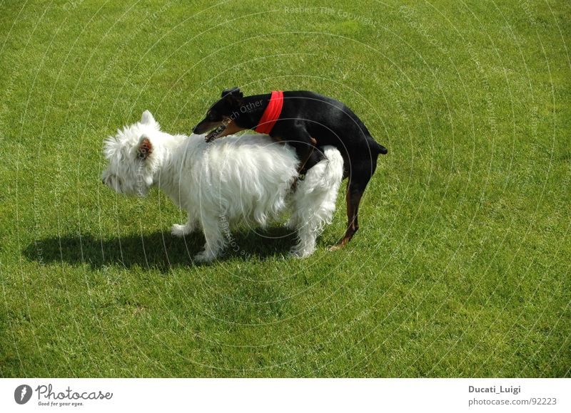 Dog White Summer Black Grass Happy Garden Style Contentment Energy industry Transport Posture Lawn Pelt Hot Blanket