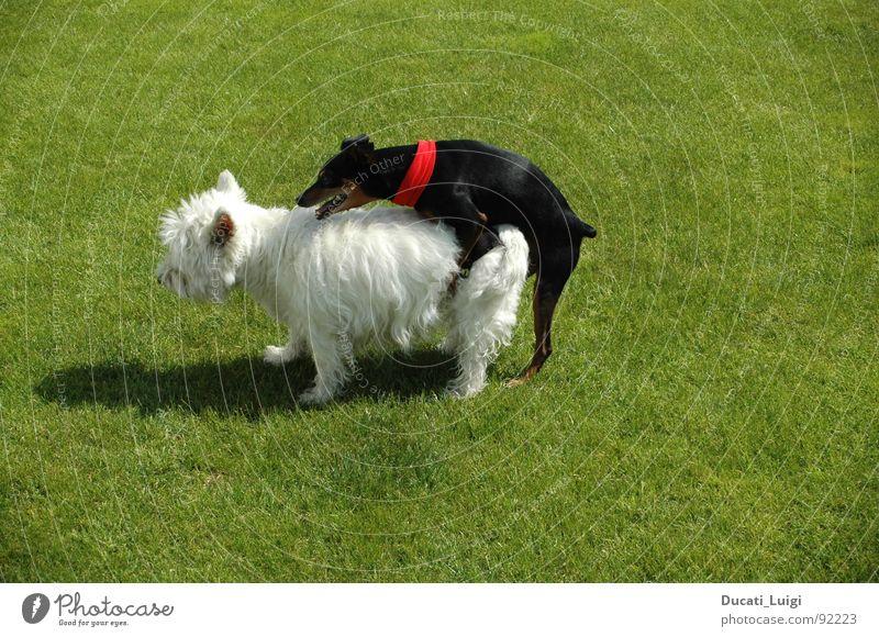 I feeeeel good ... Dog West Highland terrier Black White Fertilization Puppy Grass Contentment Endurance Neckerchief Pelt Transport Style Witness Hot Summer