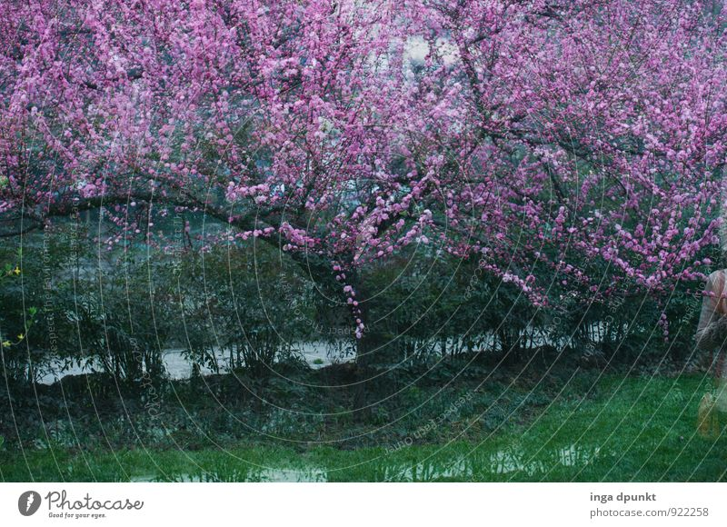 Nature Plant Green Water Tree Landscape Environment Blossom Spring Pink Park Blossoming Agriculture Seasons Asia China