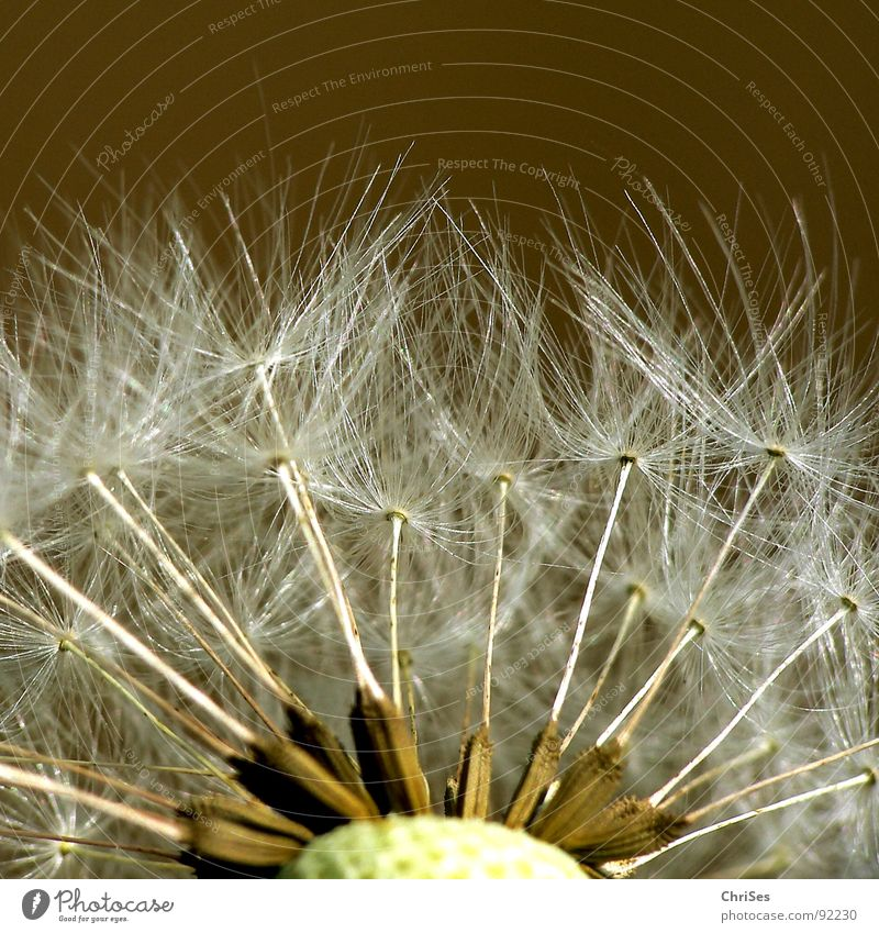 White Flower Plant Summer Spring Brown Flying Dandelion Blow Seed Parachute
