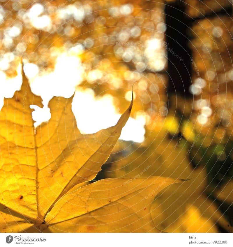 autumn whisper /l Environment Nature Landscape Autumn Beautiful weather Plant Tree Leaf Forest Glittering Illuminate To dry up Friendliness Yellow Orange