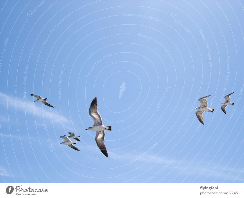 Seagulls over Costa Rica Bird Clouds Ocean Sea bird Sky Freedom Blue birds seebirds