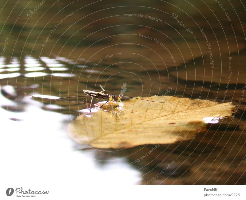sandpiper Insect Leaf Water strider Transport