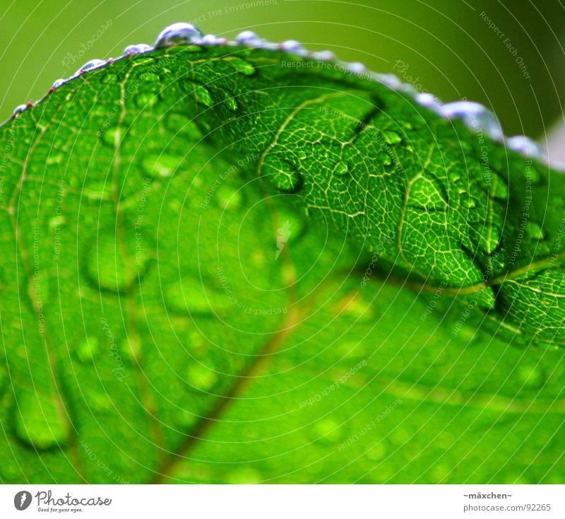 raindrops I Rain Leaf Vessel Green Refreshment Refrigeration Damp Wet Glittering Round Sharp-edged Gaudy Multicoloured Tree Plant Spring Water