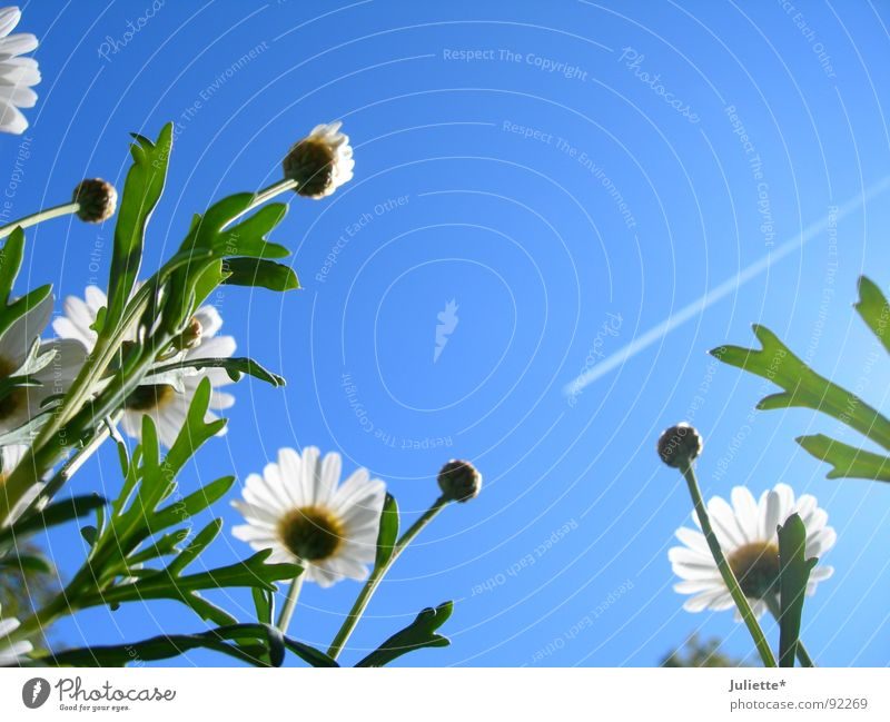 toward heaven Flower Spring White Sky magarites Blue
