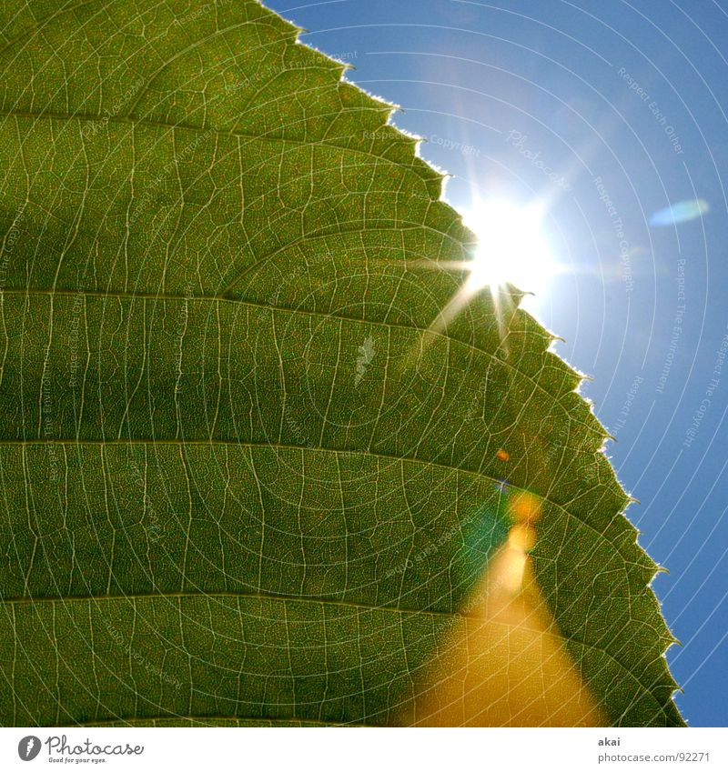 The sheet 6 Plant Green Botany Part of the plant Creeper Verdant Environment Bushes Back-light Leaf Background picture Tree Near Light Photosynthesis Mature