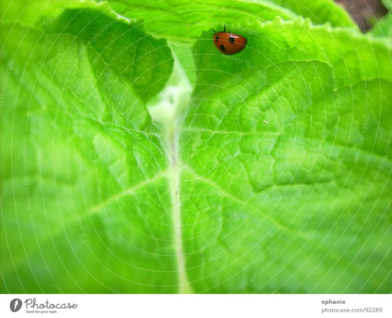 Green Red Summer Leaf Ladybird Beetle Crawl Spotted
