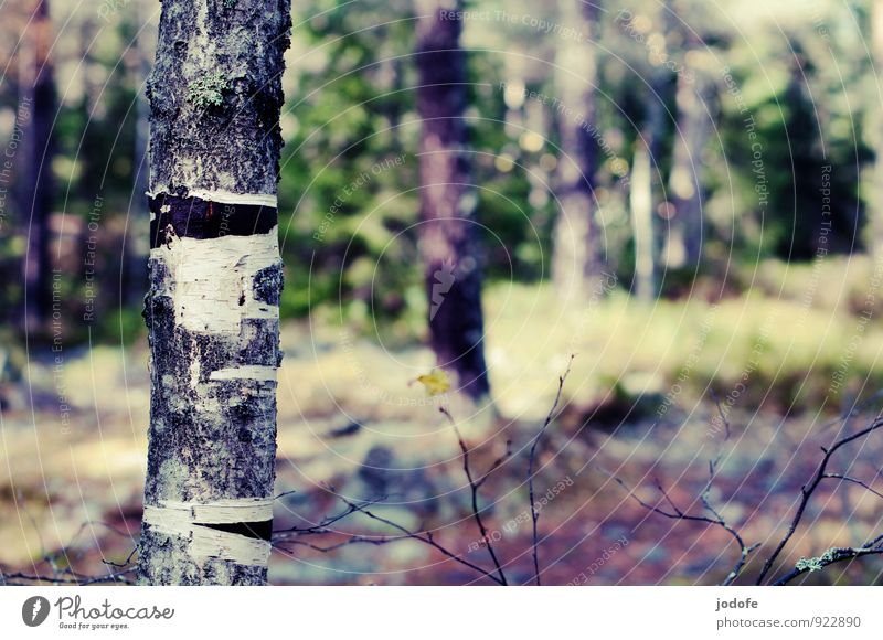 change of scenery Environment Nature Plant Beautiful weather Tree Forest Mountain Bright Tree bark Birch tree Clearing Tree trunk Woodground Autumnal Lose Molt
