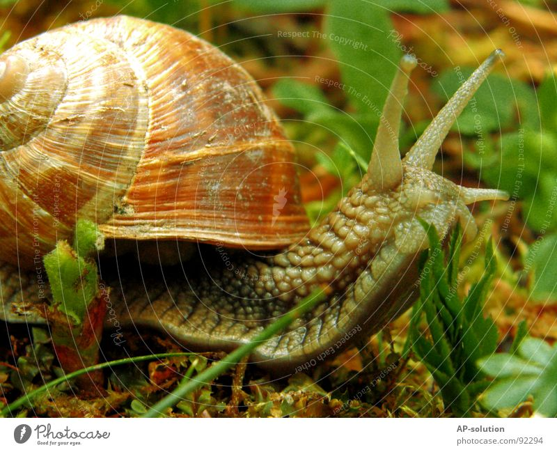 Snail *1 Air-breathing land snail Animal House (Residential Structure) Snail shell Slimy Mucus Feeler Crawl Slowly Speed Spiral Leaf Grass Withdraw Fragile