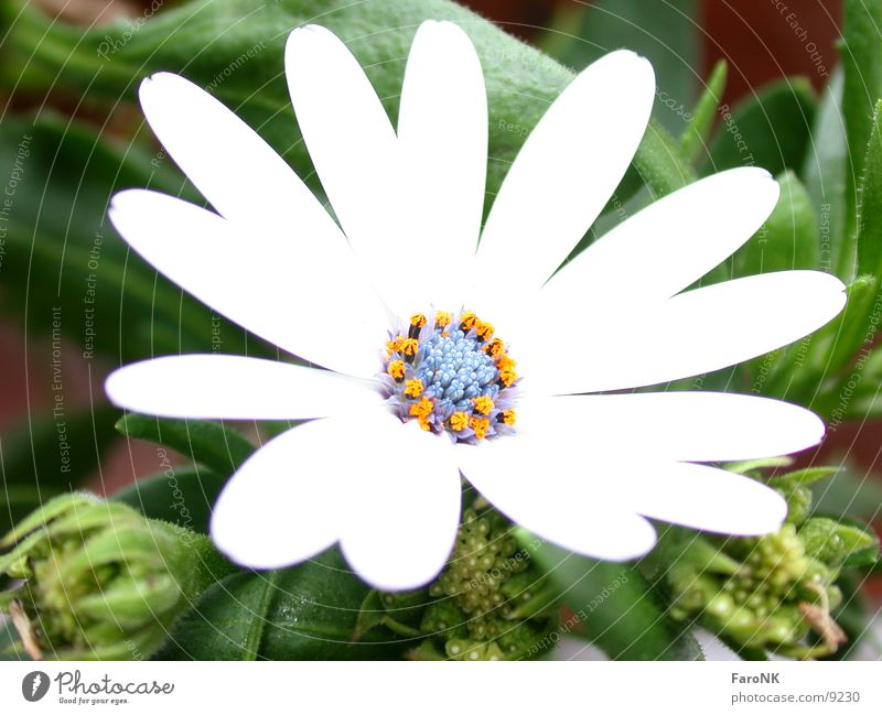 Flower Plant Blossom Livingstone daisy