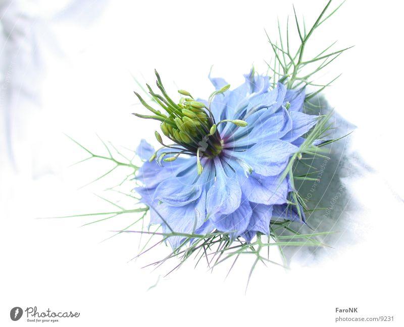 Flower Blue Plant Blossom