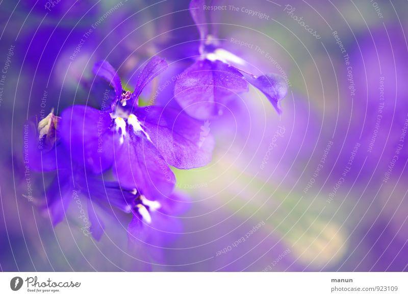 violet Nature Plant Blossom Wild plant Pot plant Beautiful Natural Soft Violet Pink Esthetic Fragrance Elegant Colour Ease Delicate Colour photo Exterior shot