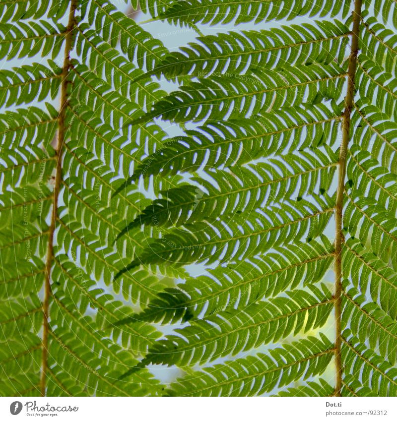 witch's ladder Nature Plant Fern Foliage plant Point Wild Green Pteridopsida Treefern Botany Flourish Stalk Plumed Delicate Fragile Closed Hide Hidden Lighting