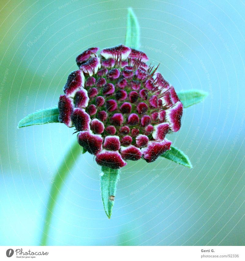 florescence Flower Blossom Plant Blossom leave Botany Multicoloured Esotericism Soul Delicate Illuminate Green Red Soft Sensitive Fresh Colour Nature