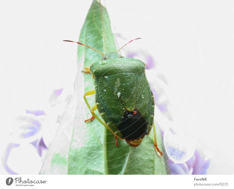 Green Leaf Animal Transport Beetle Bug