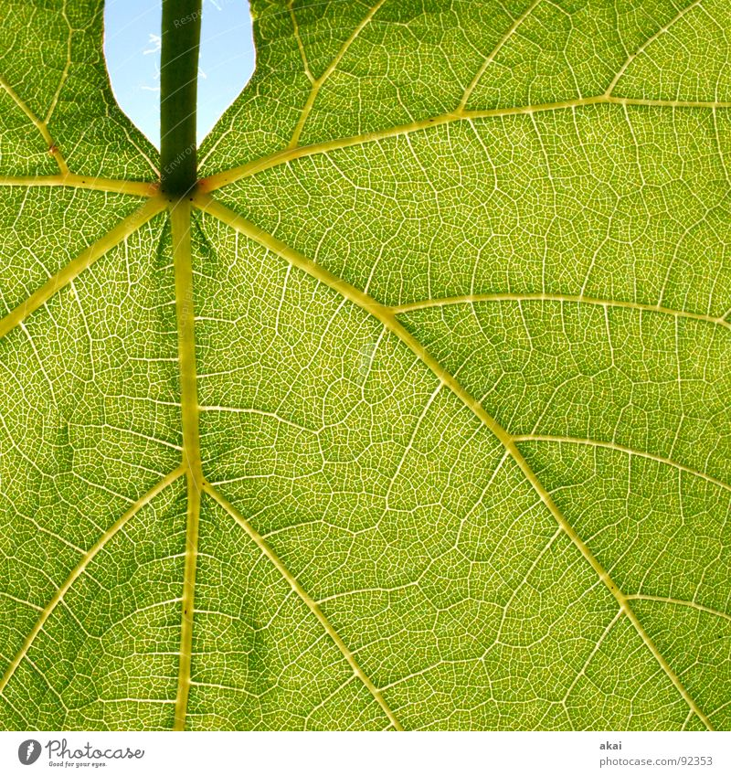 Sheet 7 Plant Green Botany Part of the plant Creeper Verdant Environment Bushes Back-light Leaf Background picture Tree Near Photosynthesis Mature Vessel Detail
