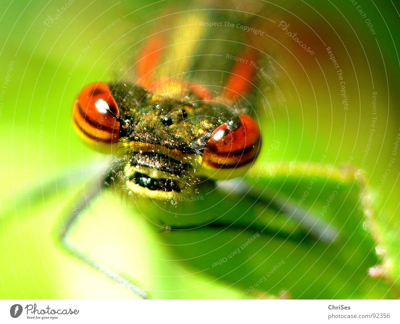 Nature Green Red Summer Animal Eyes Yellow Hair and hairstyles Garden Stripe Insect Grimace Dragonfly Northern Forest Articulate animals Small dragonfly