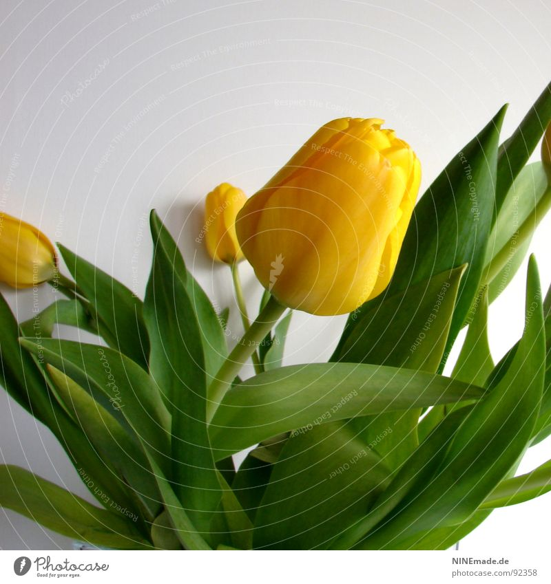 Green Flower Joy Yellow Blossom Spring Power Fresh Blossoming Stalk Square Bouquet Tulip Juicy Beige Lean