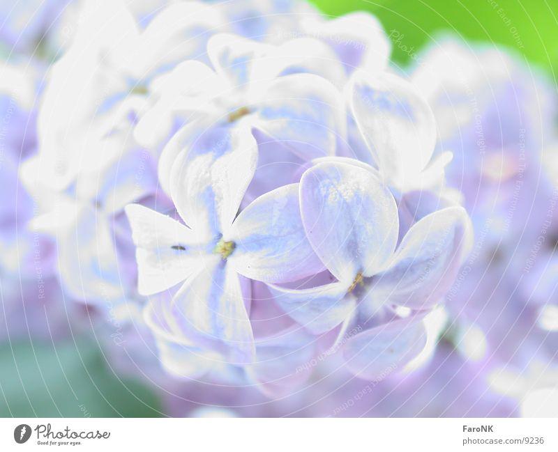 Tree Blossom Lilac
