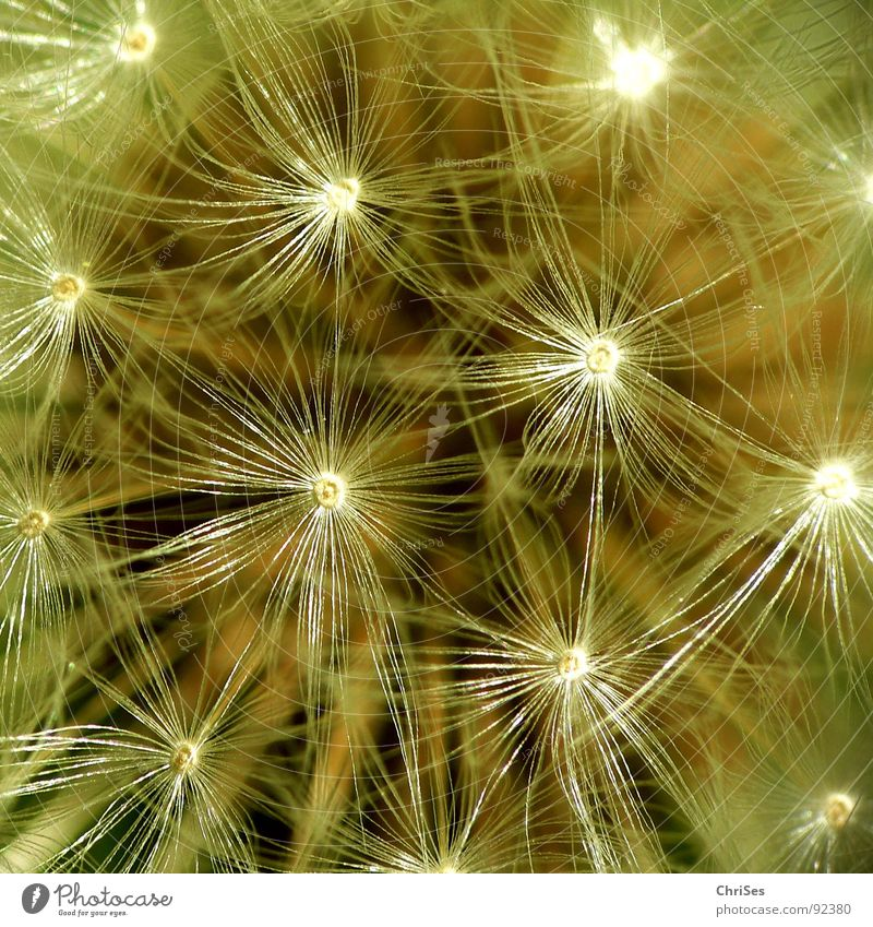 Nature White Flower Plant Summer Spring Brown Flying Dandelion Blow Seed Parachute