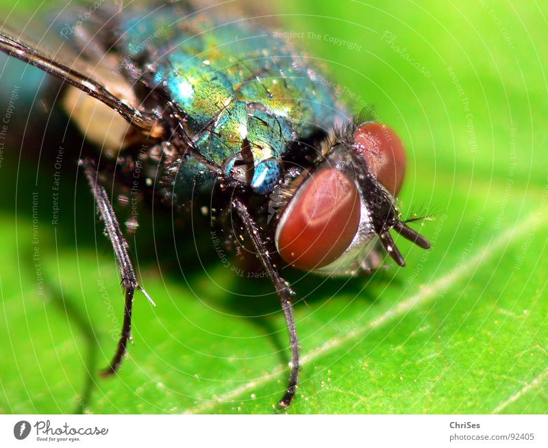 The green Schiss fly Blowfly Green Insect Dipterous Pests Leaf Animal Compound eye Feeler Metal Brown Macro (Extreme close-up) Close-up Fly carrion fly