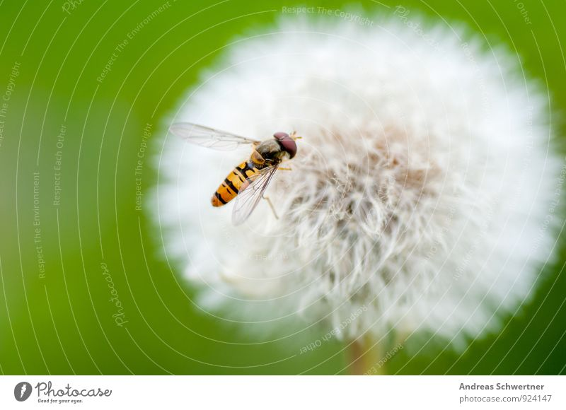 dandelion Environment Nature Plant Spring Summer Flower Grass Wild plant Garden Meadow Bee Wing 1 Animal Friendliness Happiness Healthy Bright Small Cute Round