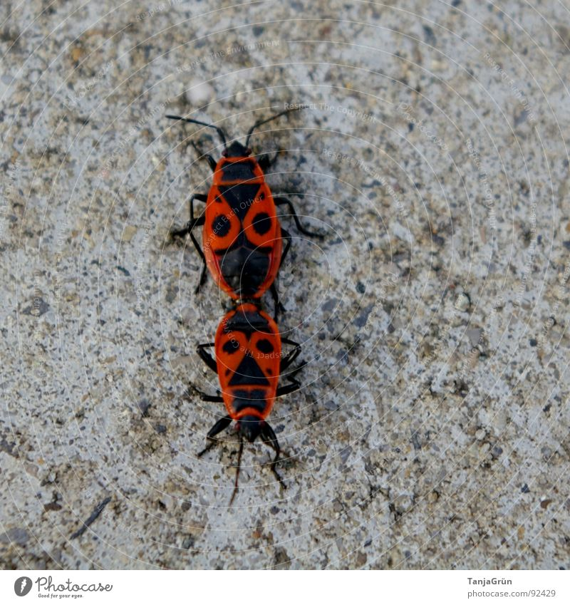 love play Red Black Concrete Direction Change in direction Animal Crawl Gray Gooseflesh Feeler Bug Firebug Wilderness Beetle Floor covering Stone Fight Point