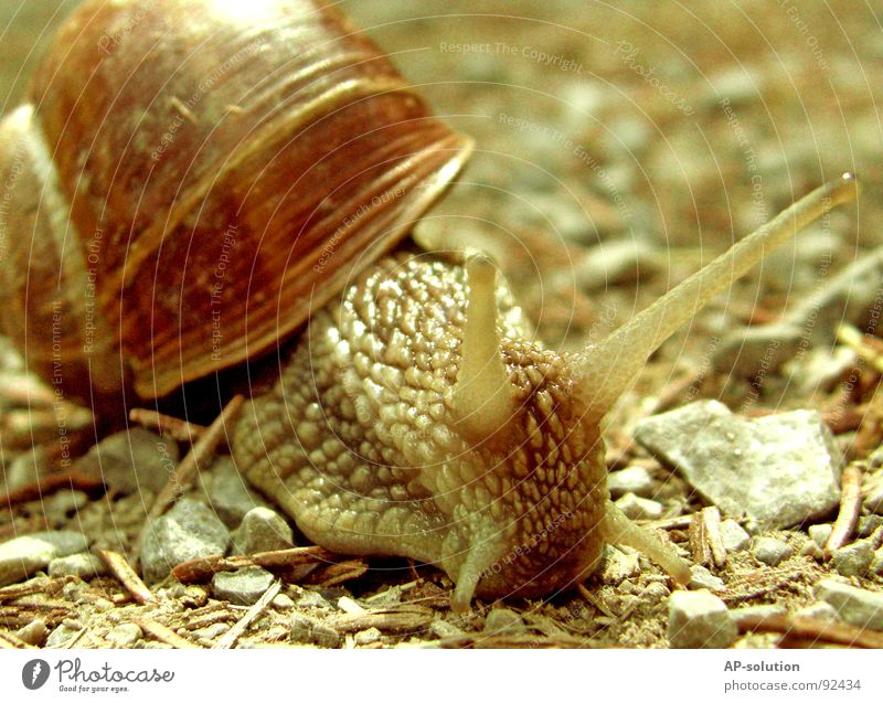 Snail *2 Air-breathing land snail Animal House (Residential Structure) Snail shell Slimy Mucus Feeler Crawl Slowly Speed Spiral Leaf Grass Withdraw Fragile