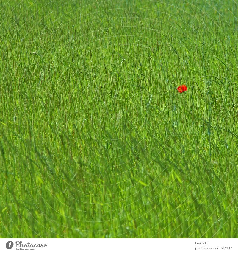 lonesome poppy Patch Patch of colour Grass Meadow Field Poppy field Juicy Green Grass green Poppy blossom Red Loneliness Flower Doomed Colour Bud poppy buds