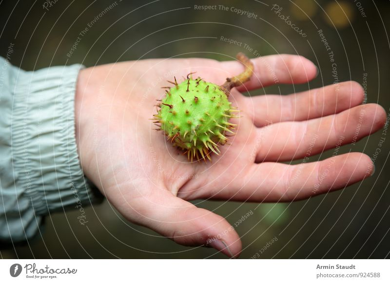 Hand - Chestnut Nutrition 1 Human being Nature Authentic Green Moody Relaxation Leisure and hobbies Mysterious Pride Environment Collection Fruit Edible nut
