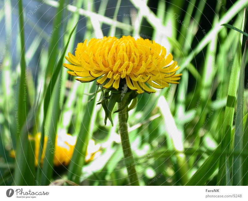 Flower Yellow Blossom Dandelion