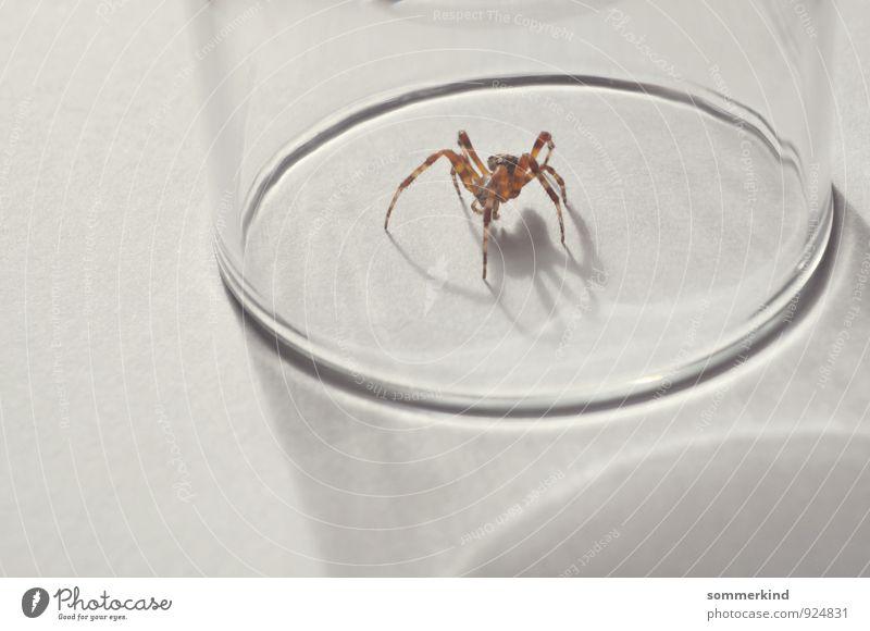 Ich glaub ich... Animal Wild animal Spider 1 Observe Crawl White Arachnophobie Fear Claustrophobia Captured Gefängnis Glass Spider legs Catch Monster Brave