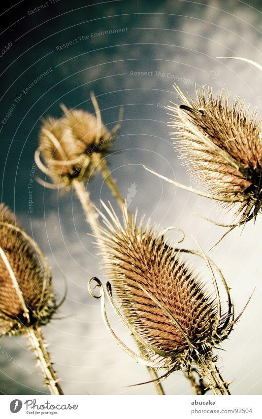 Nature Sky Plant Pain Thorn Thorn Pierce Thistle