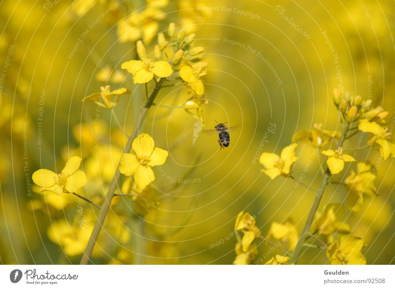 Flower Plant Yellow Field Aviation Bee Ecological Organic produce Canola