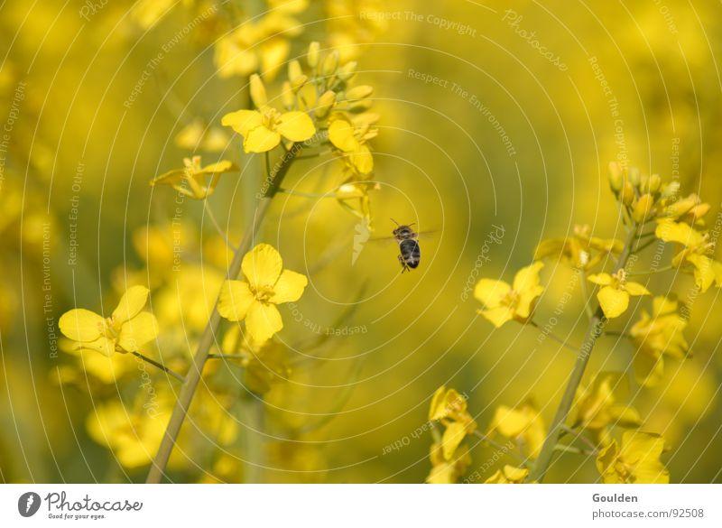 Gölb 4 möt Önsökt Canola Yellow Flower Bee Field Ecological Plant Aviation Organic produce