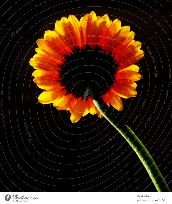 Flower Black Dark Sadness Death Transience Hope Grief Distress Sunflower Goodbye Miss Gerbera Evening sun