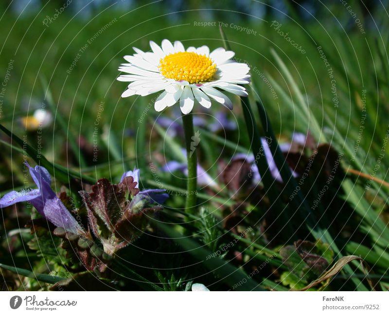 Flower Plant Blossom Daisy