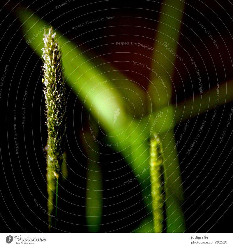 grass Grass Light Green Stalk Blade of grass Ear of corn Glittering Beautiful Soft Hissing Meadow Delicate Flexible Sensitive Pennate Plant