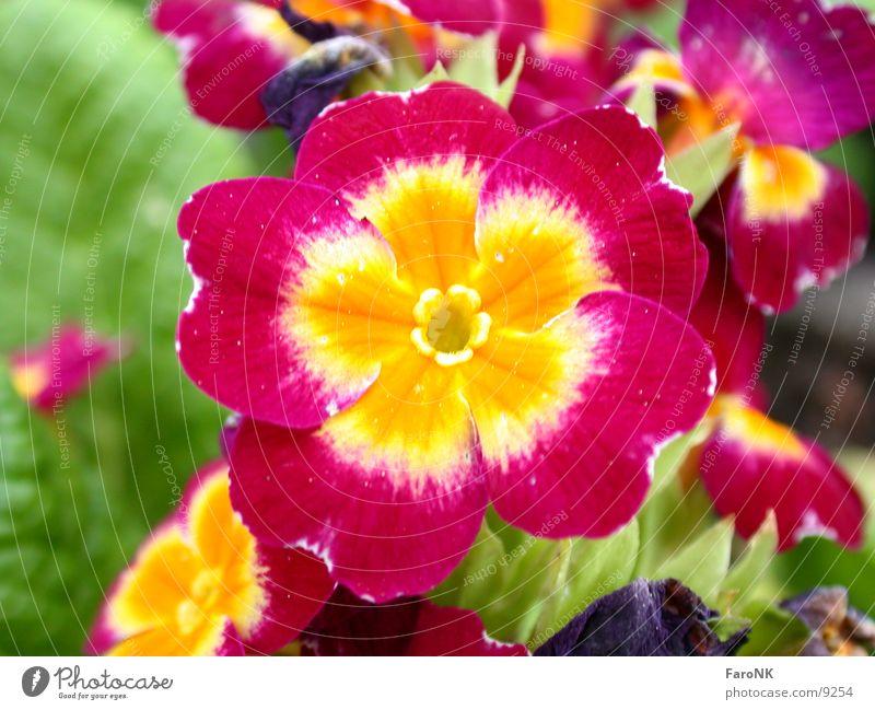 Flower Plant Blossom Primrose