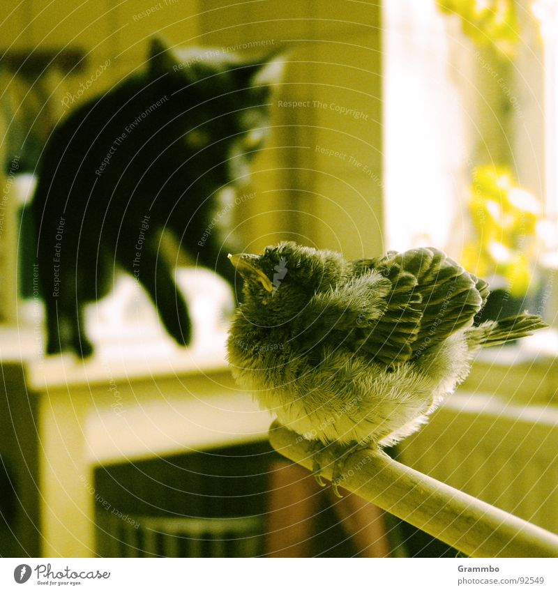 Black Jump Cat Bird Feather Hunting Brave Fat Snapshot Domestic cat Sparrow Recklessness Attack Prey Provocative Aggressive